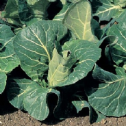 Cabbage F1 Advantage - All year harvest - 50 seeds
